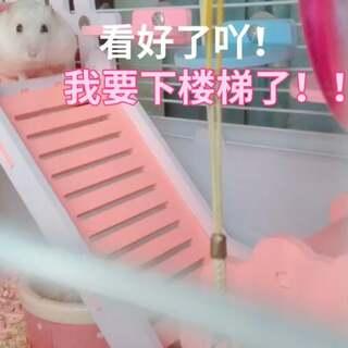 #i like 美拍##宠物##仓鼠#看本小仓是怎么下楼梯的~啪唧
