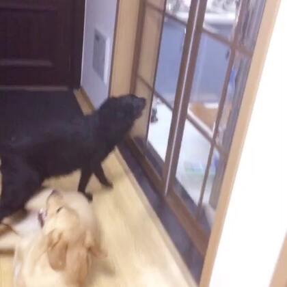 今天来大姨妈家找Spark大表哥玩~~#宠物#