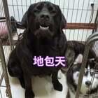 #宠物#听说要吃狗肉汤,黑豆哭了