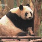 #也就才看二十遍#有只叫香冰的熊猫说她很文静优雅?Are U kidding me??敢不敢去搜#香冰拆迁#!!