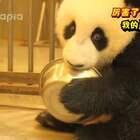 #厉害了,我的熊猫# 第三期 卖萌靠打滚?