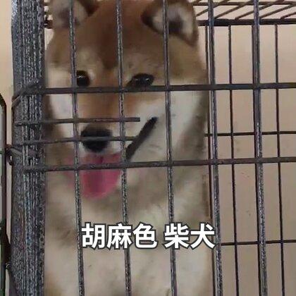 #胡麻色柴犬##宠物##柴犬# 胡麻色柴犬展示😛😛😛