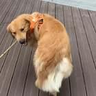我还以为夏天要追着零食跑呢,没想到他先搞定棍子。#宠物##精选##训练狗狗#