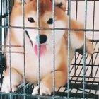 #柴犬##柴犬宝宝##日本柴犬#你好不好看? 好看!