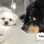 #汪星人##宠物##我要上热门@美拍小助手#大伙记住了、以后说丫头不能说胖、要说丰满!丰满是什么?丰满就是胖!
