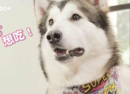 #DDC萌宠#狗粮比你吃的还好?来看看,狗生赢家王可可是个🍉 在吃些什么吧?买不起同款包包玩具,但制作一餐王可可的网红营养餐,倒不是难事儿。我们虽然没有很多很多钱,但也可以让狗狗有很多很多爱~你们家狗子都爱吃啥呀?