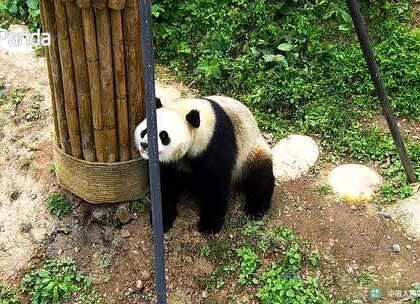 """#精彩一刻##大熊猫##宠物# """"蔓越煤""""镜头感爆棚,为我们展现了盛世美颜,镜头感一百昏~"""