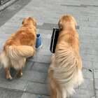 浩浩荡荡的回店里队伍#宠物##金毛##训练狗狗#