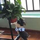 #宠物#小煤球长高了一点 原来要站着架子上才能够到 现在站地下都可以碰到 叶子🍃