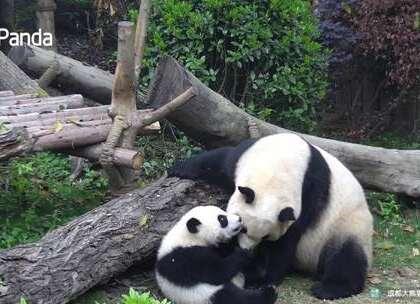 """#精彩一刻##大熊猫##宠物# 这又是犯了什么错误,妈妈要这样教育你呢?""""珍喜"""",知道自己错在哪里了吗?难道妈妈要好好感谢你刚刚为我拉皮吗~""""珍喜"""":妈妈我错啦!"""