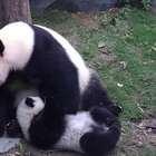 """#精彩一刻##大熊猫##宠物# """"晶晶""""给你们示范下怎么撸熊猫,这样才能完美的释放爱意"""