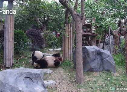 """#精彩一刻##大熊猫# 根据""""妈宝喜""""的过往我们可以判断出,珍喜对妈妈爱得深沉,无论""""晶晶""""对""""珍喜""""进行怎样的摔打,""""珍喜""""依旧茁壮生长。除此之外,小小年纪就练就一身逃跑🍉——""""三秒撤退,五秒上树。"""""""