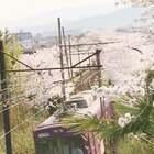 三月底去大阪东京拍的🌸樱花隧道,真的是灰常美,这就是跑这么远的意义吧~ 大家参与#10秒致青春#话题拍视频按播放量会有大奖拿哦 ~