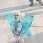 #宠物##精选#漂亮的天使安妮大家都喜欢💕😘小仙女快来抢沙发