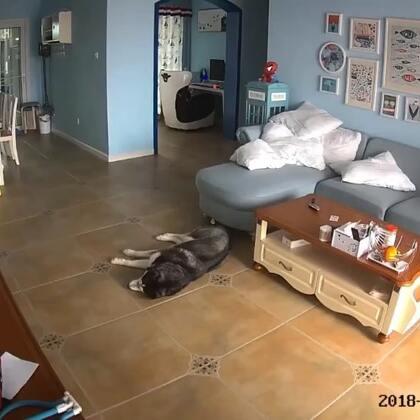 屁哥一只狗的时候,出门都不用关,因为它很乖,不吵不闹不搞破坏更不会乱便便。省心的狗狗!#哈士奇##宠物##二货哈士奇#