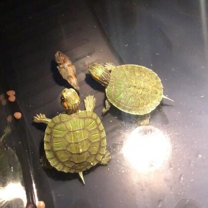 不要抢小鱼干。。#巴西红耳龟##乌龟##宠物#