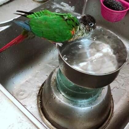 今天跟小叶子斗智斗勇的把繁殖箱下了,他们夫妻两终于洗澡了。#萌宠##精选##宝宝#