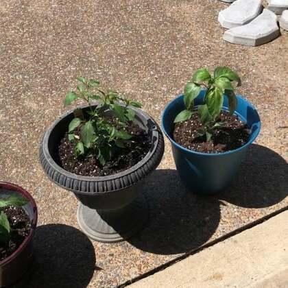 #用花盆种菜# 刚种下了四棵不同品种的辣椒🌶️ ,希望有个小丰收哦…🙏😜😜