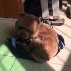 #宠物#✨小石头✨接上个视频~疯够了也疯累了,叼件粑粑的衣服垫着晒太阳睡觉觉咯#可爱的调皮蛋#💋🤪