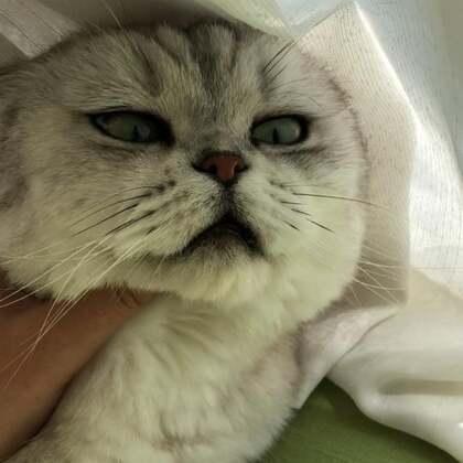 养了一只对猫砂盆十分敏感的猫 砂子少了不愿意拉 屎没及时铲不愿意拉 换豆腐砂不愿意拉 为了表示不满就往床上拉!!!#宠物#