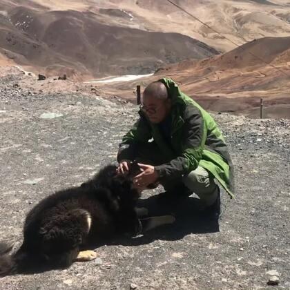 #宠物#路过一个5166米海拔的达板时遇到一个活泼亲人的狗狗 它好像就生活在山顶上 它不小心把喜粑撞到了 还吓坏了 相比我们给它零食 它更愿意跟四喜粑玩耍 大概是太寂寞了 健康平安的活下去🙏