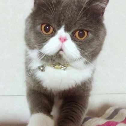 小喵自拍中……🤣#精选##宠物##欧北北vs花圆满#