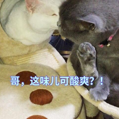 【幸福喵儿~🐱🐱🐱美拍】#萌爪大比拼##精选##宠物# 三弟...
