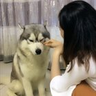 知道自己做错事的哈K,安静如鸡#宠物##搞笑##我要上热门#