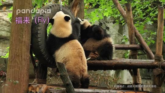 #萌团子陪你过周末#当囡弟不抢窝头时他在想些什么?