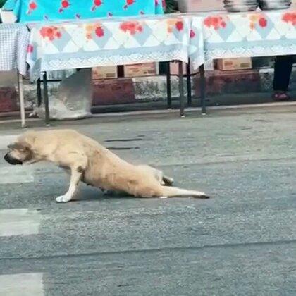 #宠物##搞笑# 这狗演技😂😂😂碰瓷呀