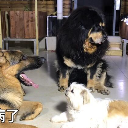 #汪星人##宠物##我要上热门@美拍小助手#吉祥三宝在一起就是快乐多。开心的生活开心的玩,这就是狗生的幸福。