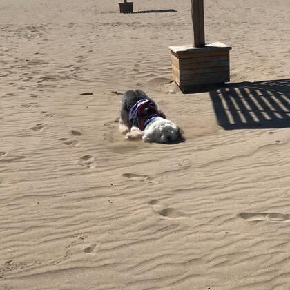 """#宠物#朵儿的尴尬时刻——刚来沙滩就一直跑 然后后劲儿不足 我们慢慢走 他开始每走到凉亭的阴影处就趴下休息🤣🤣休了好几回 看我们走远 他才追上来 有太阳 但不热 博斯腾湖 中国最大的内陆淡水吞吐湖 维吾尔语意为""""绿洲""""水很干净"""