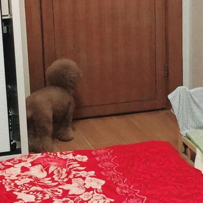 #宠物#😄😄昨晚逗Kk,K爸在门口偏她出去玩,我躲在窗户外面看着,小胖纸急死了!外公在外面喊:不准欺负Kk!😂😂