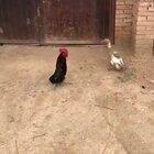 和鸭子一块长大的鸡😂😂😂#精选#