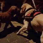#训练狗狗##宠物#带这个走丢的小泰迪去找主人,可惜不是,一路上任何公狗都不能靠近米饭,他都不乐意#我要上热门@美拍小助手#@宠物官方频道账号