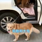 #宠物#我们在哈尔滨,轮胎要带大毛回天津