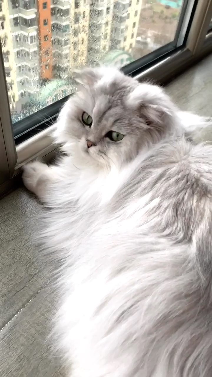 #宠物##高地折耳猫##诺诺日常#赏雨🌧️的诺诺😘