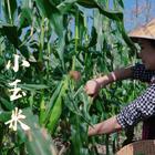 """""""花開四季,果結終年""""用來描述云南西雙版納的氣候最為貼切,在這里可以一年四季自然種植香甜軟糯的花糯玉米。我們家人都特別愛吃玉米,不管是蒸熟了直接吃,還是用來做菜都很美味,就連大王都可以一口氣吃幾個~"""