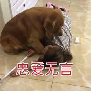 狗狗的忠誠 看到最后有些淚目...#家有萌寵##金毛#