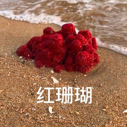 紅珊瑚#農村生活##戶外趕海#