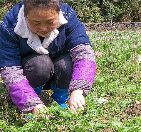 【小九趣事美拍】農村有一種野菜的味道,一般人都...