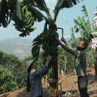 一棵香蕉樹一生只結一次果,香蕉成熟后,它的樹就可以用來喂豬了。新長出來的小樹苗要明年才會長出新的香蕉。怒江邊上種的香蕉,非常軟糯香甜,不加藥水催熟,除了表皮有點丑,真的香甜到爆!這幾種香蕉的吃法,你們喜歡哪一種?