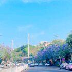 藍楹花開了 陪你看花的人還在一起嗎?