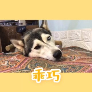 #二貨狗狗##二哈的世界#