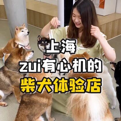 擼柴犬竟然偶遇……你們都是怎么對付渣男的?#寵物#
