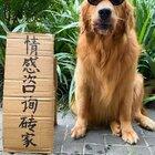 狗子幫人找對象#金毛##寵物#