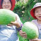 到舅公西瓜地溜達一圈,忍不住,現場吃起了西瓜 #我要上熱門##美食##農村#